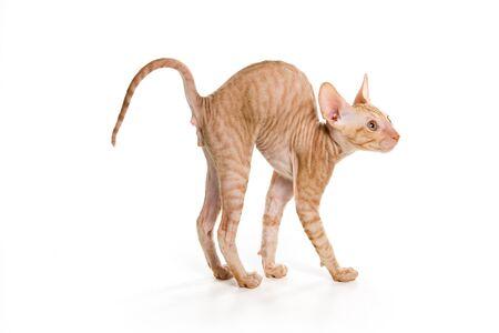 esfinge: Gato esfinge aisladas en blanco Foto de archivo