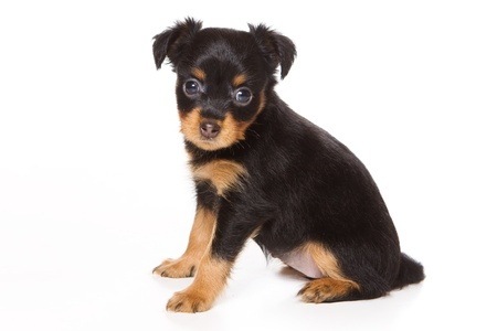 Toy Dog puppy on white Stock Photo - 13311910