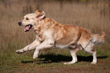 perro corriendo: Golden retriever en entornos al aire libre