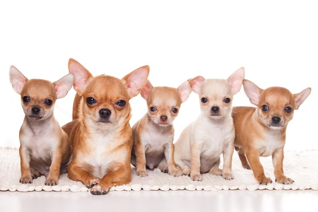 chihuahua pup: Chihuahua puppy on white background