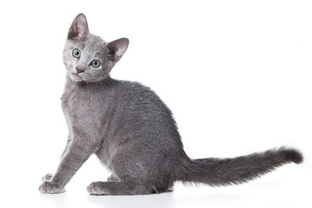 russian blue: Russian blue kitten on white Stock Photo