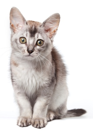 Abyssinian kitten on white background Stock Photo - 13954465