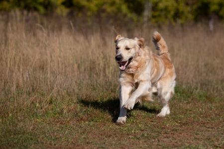 Golden retriever in outdoor settings photo
