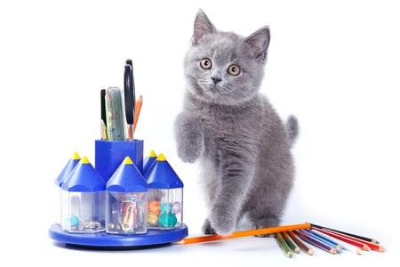 animal pussy: British kitten on white background