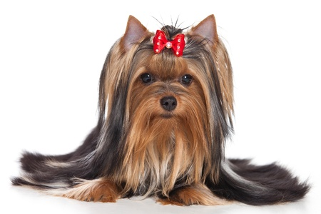 Yorkshire terrier dog on white background photo