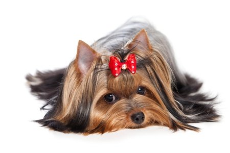 Yorkshire terrier perro sobre fondo blanco photo