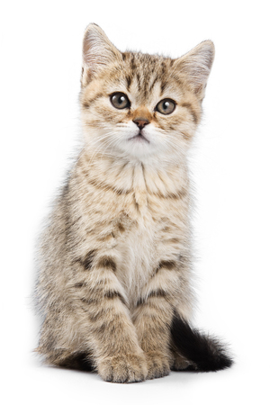 britan: Britan kitten sitting and looking at the camera isolated on white