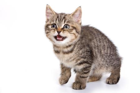 meowing: British tabby kitten meowing Stock Photo