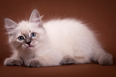 lays down: Siberian kitten sitting and looking at the camera