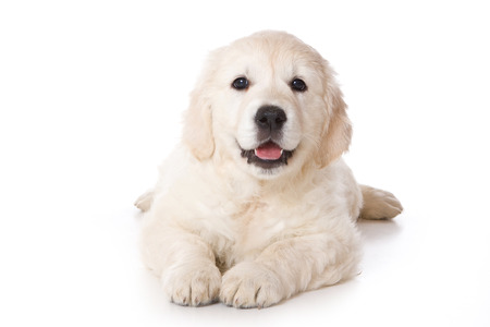 Golden retriever puppy lying and looking at the camera (isolated on white) Stock Photo