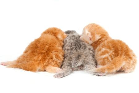 lays down: Three newborn kitten (isolated on white)