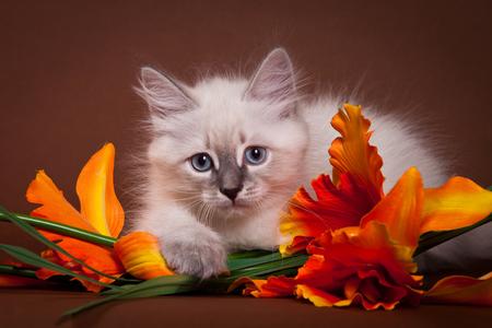 Siberian kitten and flowers