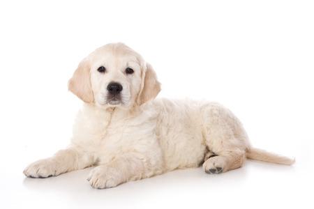 Golden retriever puppy liegen en kijken naar de camera (geïsoleerd op wit)