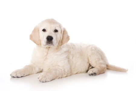 lays down: Golden retriever puppy lying and looking at the camera (isolated on white) Stock Photo