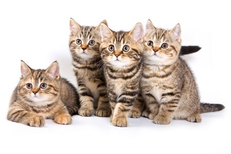 pussy: Four striped kitten (isolated on white)