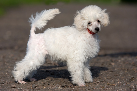 doggies: Puppy poodle standing in the sun