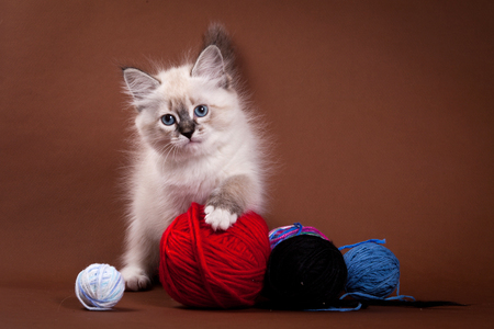 purebreed: Siberian kitten and a ball of wool