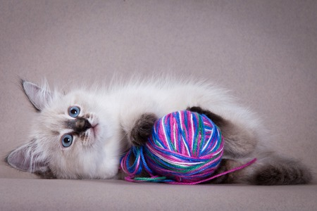 lays down: Siberian kitten and a ball of wool