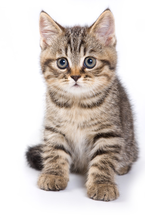 britan: Britan kitten sitting and looking at the camera (isolated on white)