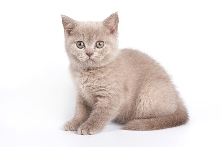 cute pussy: Gray kitten sitting and looking at the camera (isolated on white) Stock Photo