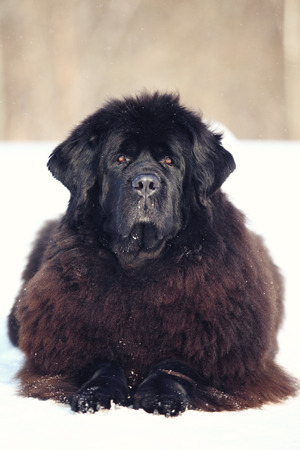 newfoundland dog: Newfoundland dog lying and looking at the camera in winter