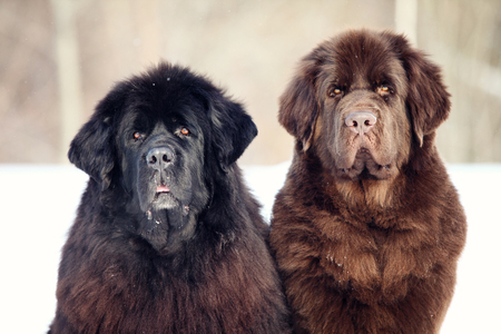 newfoundland dog: Newfoundland dog sitting and looking at the camera in winter Stock Photo