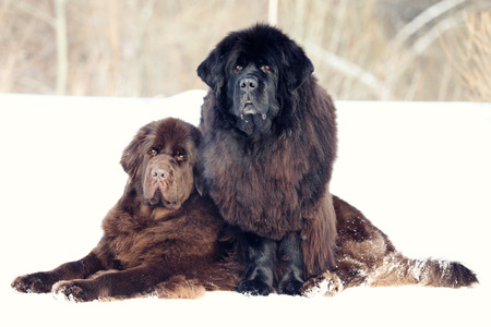 fluffy: Two Newfoundland dogs lie winter Stock Photo