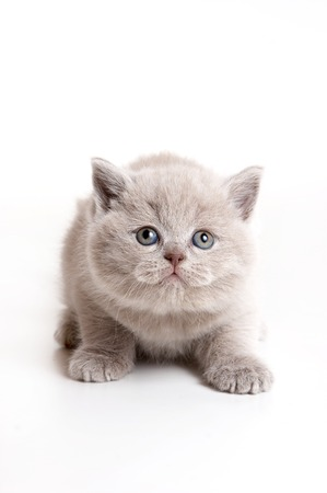 lays down: Fluffy gray kitten looking up (isolated on white) Stock Photo