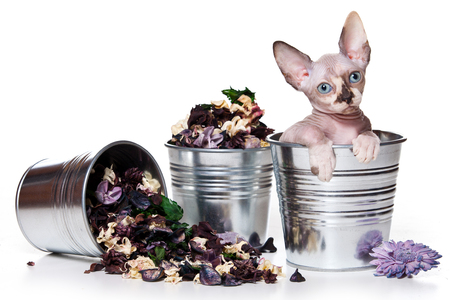 cat grooming: Sphynx kitten sitting in pot and flowers (isolated on white) Stock Photo