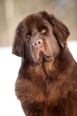 Newfoundland dog portrait in winter Stock Photo