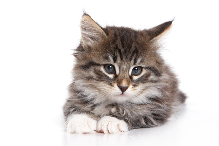lays down: Fluffy kitten lying down and looking at the camera (isolated on white)
