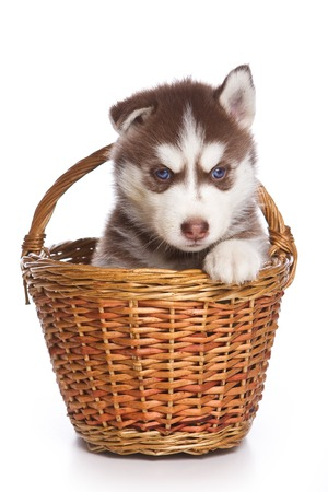 single animal: Siberian Husky puppy sitting in a basket, and looking at the camera (isolated on white) Stock Photo