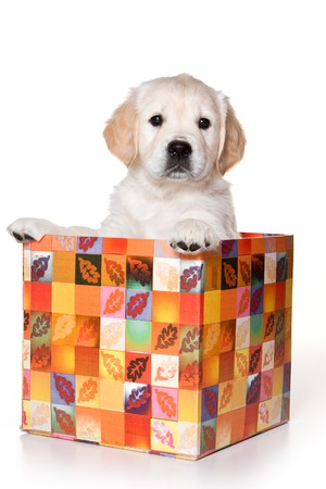 cute puppy: Golden retriever puppy sitting in a box and looking at the camera (isolated on white)