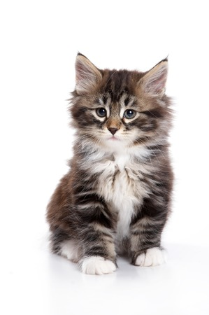 on a white background: Fluffy kitten sitting and looking at the camera (isolated on white) Stock Photo