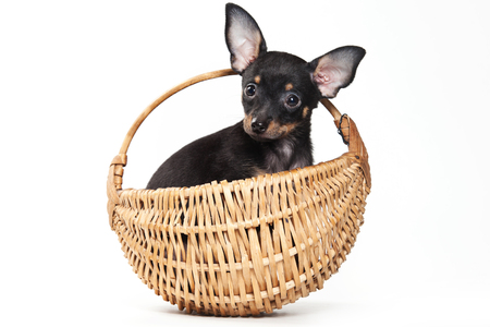 whelp: Pinscher puppy sitting in a basket, and looking at the camera (isolated on white) Stock Photo