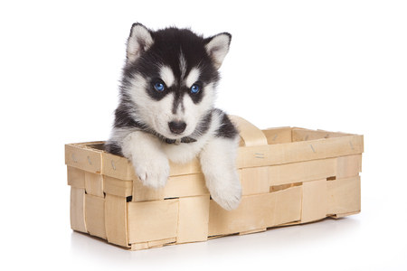 cute dogs: puppy Siberian Husky sitting in a box paws hanging out and looking at the camera (isolated on white) Stock Photo