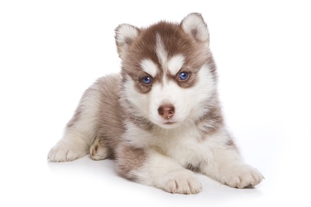 lays down: Husky puppy lying and looking at the camera (isolated on white)