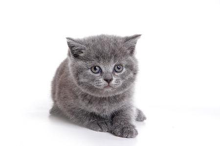 british pussy: Fluffy gray British kitten (isolated on white)