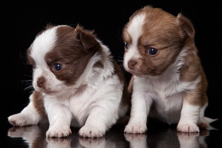 purebreed: Two chihuahua puppy sitting (isolated on black)