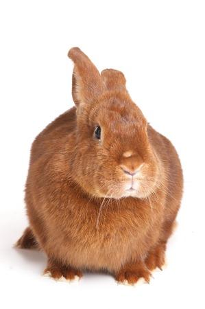 single animal: Red Rabbit (isolated on white)