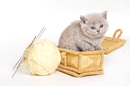 cat isolated: Fluffy gray kitten in a box and wool (isolated on white)