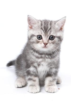koty: Rozłożony British kitten siedzi i spojrzenie na aparat (na białym)