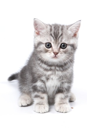 isolated on grey: Striped British kitten sitting and looking at the camera (isolated on white) Stock Photo