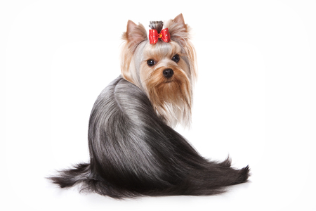 terrier dog: Yorkshire Terrier dog sitting back and looking at the camera (isolated on white)
