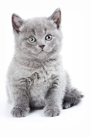 gray cat: Fluffy gray kitten British (isolated on white)