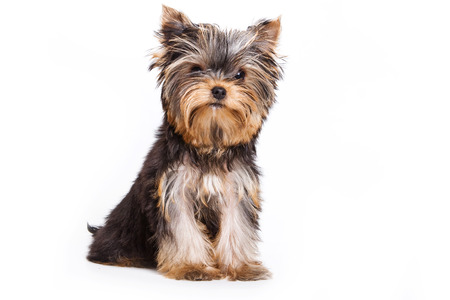 dog isolated: Yorkshire Terrier dog sitting and looking at the camera (isolated on white) Stock Photo