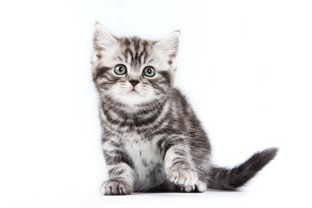 kitten: British striped gray kitten (isolated on white)