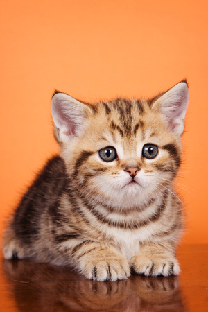 cute kittens: British striped red kitten on an orange background