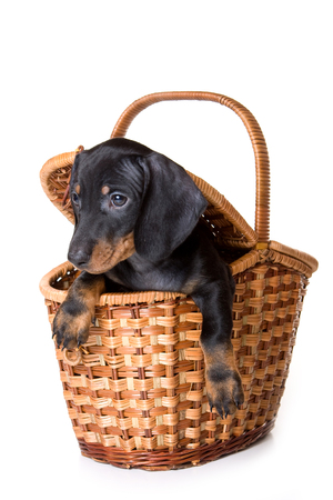 baskets: Dachshund puppy sitting in a basket (isolated on white)