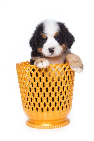 mountain dog: Puppy Bernese Mountain Dog in a vase (isolated on white) Stock Photo
